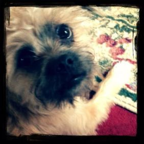 Charlie, our new family member is a rescued Brussels-Griffon-Havanese/