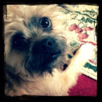 Charlie, our new family member is a rescued Brussels-Griffon-Havanese